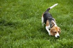 Cane del foxhound americano Fotografia Stock Libera da Diritti