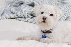 Cane del frise di Bichon immagini stock libere da diritti