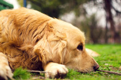 Cane del golden retriever che si trova giù in un prato su un'estate soleggiata immagini stock libere da diritti
