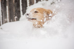 Cane del golden retriever in neve Fotografie Stock Libere da Diritti