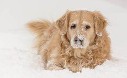 Cane del golden retriever in neve Immagini Stock Libere da Diritti