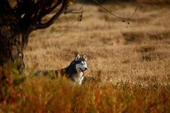 Cane del husky Fotografie Stock Libere da Diritti