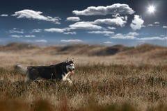 Cane del husky immagini stock