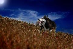 Cane del husky Immagine Stock Libera da Diritti