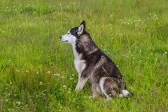 Cane del husky che cammina nel campo fotografie stock
