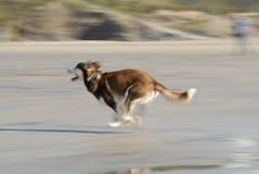 Cane del husky che funziona velocemente sulla spiaggia. Immagine Stock