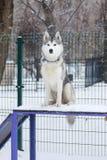 Cane del husky che si siede nel campo da giuoco del cane Fotografia Stock