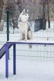Cane del husky che si siede nel campo da giuoco del cane Fotografie Stock