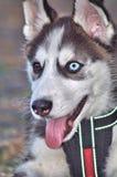 Cane del husky del cucciolo Immagini Stock Libere da Diritti