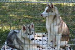 cane del husky di due giovani in una gabbia Fotografia Stock Libera da Diritti