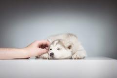 Cane del husky di sonno di coccole della mano Fotografia Stock Libera da Diritti