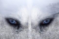 Cane del husky la foresta immagine stock libera da diritti