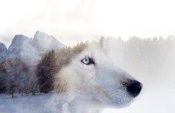 Cane del husky la foresta fotografia stock