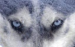 Cane del husky la foresta immagine stock