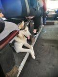 Cane del husky nel trasporto pubblico immagini stock