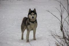 Cane del husky nella foresta di inverno Fotografia Stock