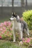 Cane del husky siberiano Immagini Stock