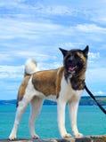 Cane del husky sulla spiaggia Fotografia Stock Libera da Diritti