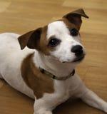 Cane del Jack Russel Fotografia Stock