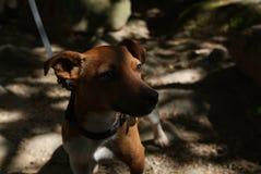 Cane del Jack Russell Fotografie Stock Libere da Diritti