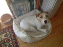 Cane del Jack Russell fotografia stock