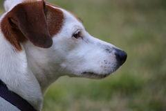 Cane del Jack Russell Immagine Stock
