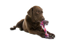 Cane del Labrador che mastica giocattolo Immagini Stock Libere da Diritti