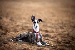 Cane del levriero che esamina macchina fotografica Fotografia Stock