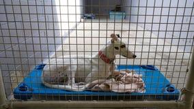 Cane del levriero nell'indicazione della gabbia fotografia stock