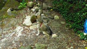 Cane del Malamute che si siede su una strada del parco archivi video