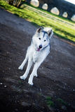 Cane del Malamute d'Alasca Fotografie Stock