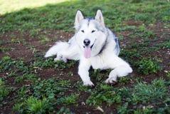Cane del Malamute d'Alasca Fotografie Stock Libere da Diritti