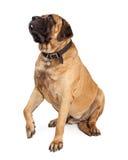 Cane del mastino che alza zampa Fotografie Stock