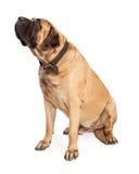 Cane del mastino che guarda al lato Fotografie Stock