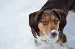 Cane del naso di Snowy Fotografia Stock Libera da Diritti