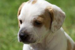 Cane del papavero Fotografia Stock