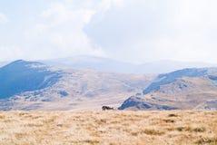Cane del pastore su una montagna Fotografia Stock