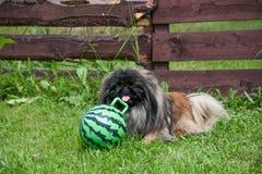 Cane del pechinese che si siede sull'erba fotografia stock