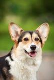 Cane del Pembroke del Corgi di Lingua gallese Immagini Stock Libere da Diritti