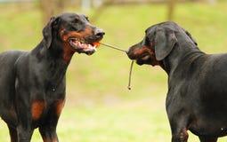 Cane del pinscher del doberman di divertimento due Fotografie Stock Libere da Diritti