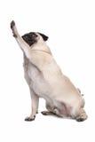 Cane del Pug Fotografia Stock Libera da Diritti