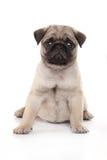 Cane del Pug Fotografie Stock Libere da Diritti