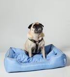 Cane del Pug che osserva in su Fotografia Stock Libera da Diritti