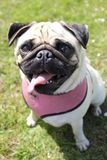 Cane del Pug che osserva in su Fotografie Stock Libere da Diritti