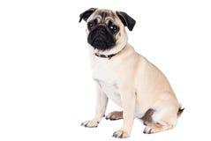 Cane del Pug che si siede sulla priorità bassa bianca Fotografia Stock Libera da Diritti