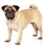 Cane del Pug su priorità bassa bianca Fotografie Stock