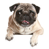 Cane del Pug sulla bandiera bianca Immagini Stock Libere da Diritti