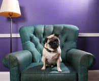 Cane del Pug sulla presidenza verde davanti alla parete viola Immagini Stock Libere da Diritti