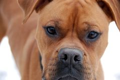 Cane del pugile Fotografie Stock Libere da Diritti