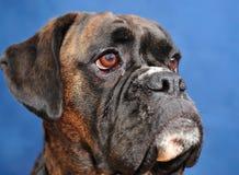Cane del pugile Fotografie Stock